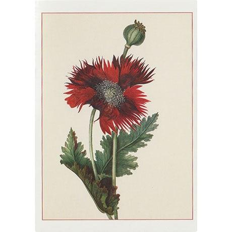 Lady Cockerell: Poppy Boxed Small Notecards