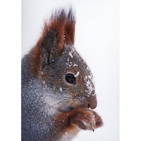 Eurasian Red Squirrel Boxed Holiday Cards